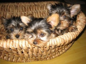 Yorkie Babies!! Boys and Girls! All Sizes