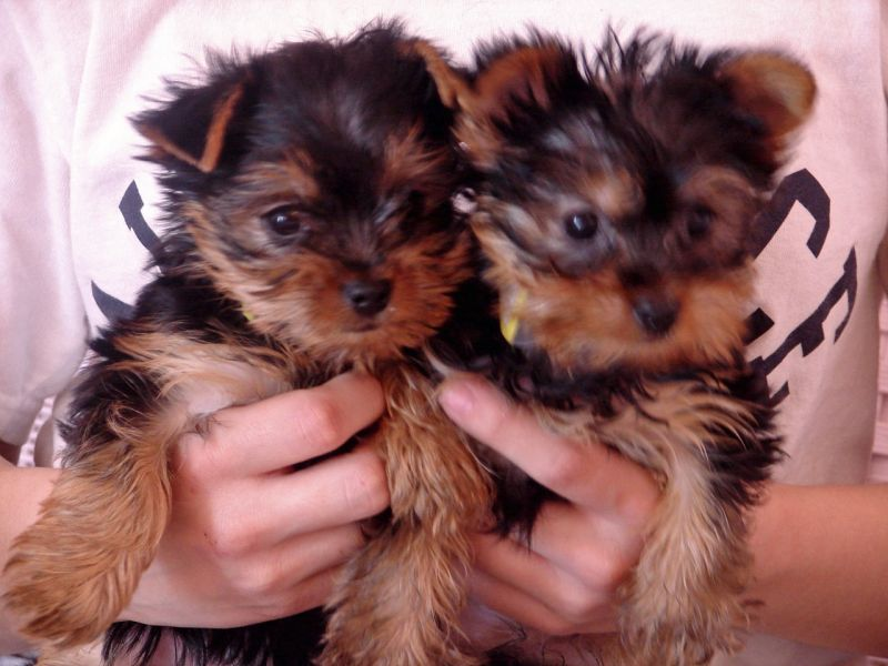 Small breed puppies for a caring home