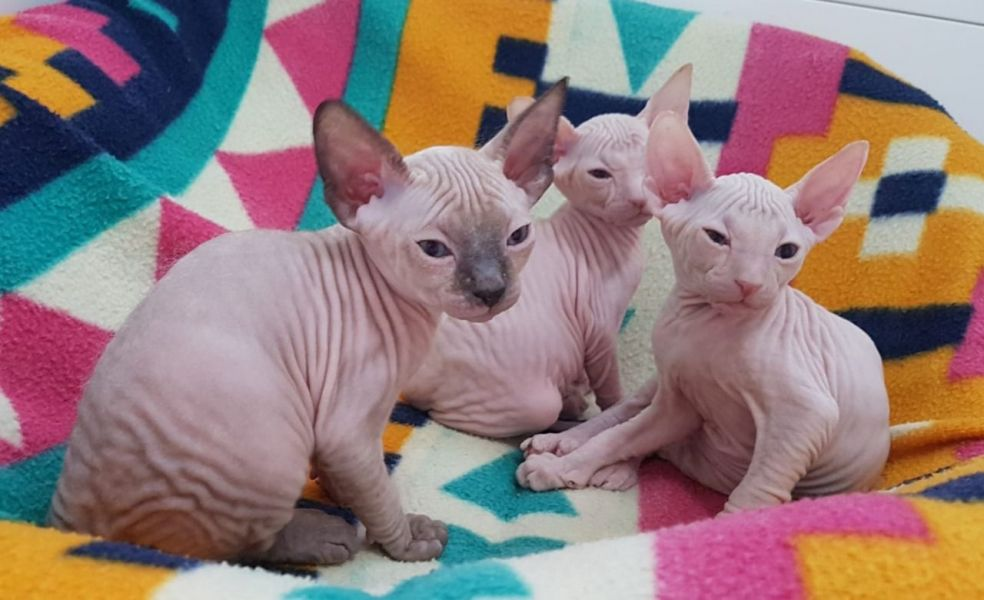 Cute Sphynx Kittens Available Now for sale