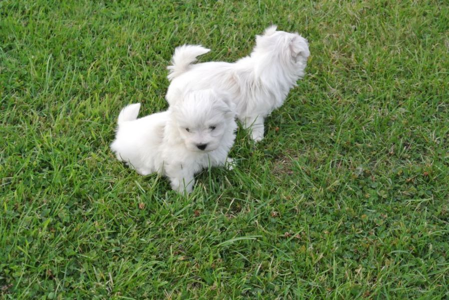 Adorable maltese puppies available