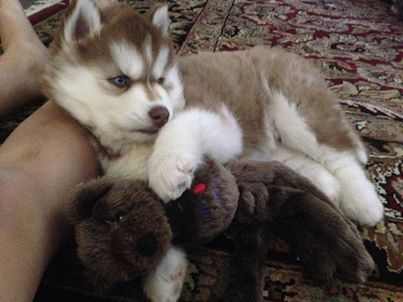 Adorable AKC siberian husky puppies for adoption