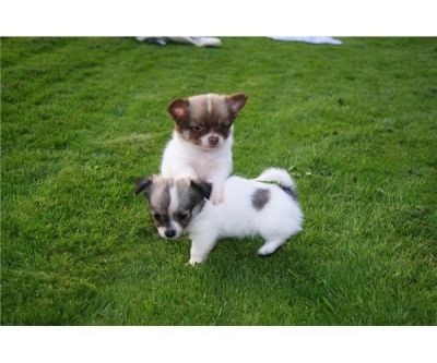 Chihuahua puppies seeking for true homes