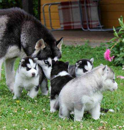 Female and Male Siberian Husky Puppies for adoption text (860) 937-1159