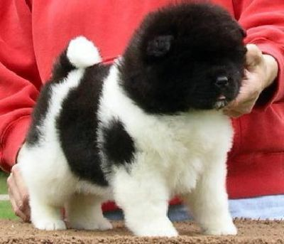 Akita Puppies Ready Now!!!!!