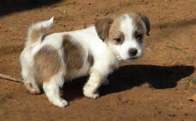well trained jack Russel puppies for sale