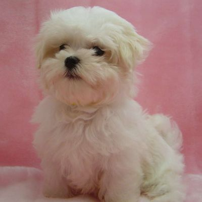 outstanding maltese puppies for adoption