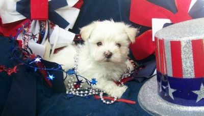 Nice Teacup maltese puppies for sale