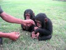 Adorable Male and Female Chimpanzee Babies