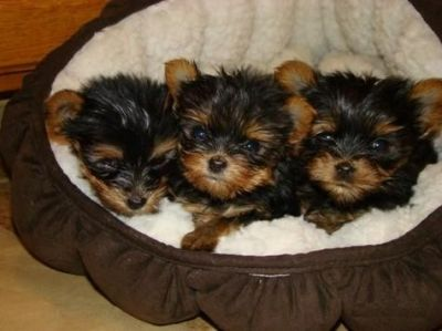 cute yorkie puppies for free adoption...