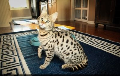 Registered Bengal Kittens For Adoption