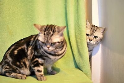 Looking for a new home - the British Whiskas with pedigree