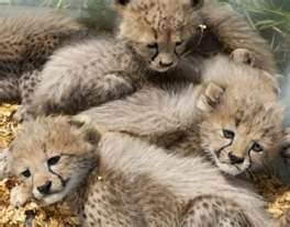 well tamped tiger,lion,cheetah,cougar cubs for sale