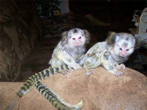 Pygmy marmoset Capuchin monkeys diaper trained, litter trained
