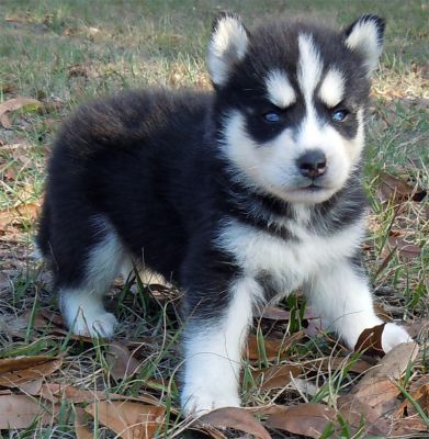 3 free Healthy and good looking siberian husky puppies