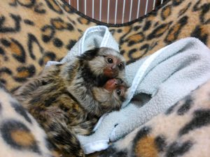 Marmoset and other monkeys on sale .