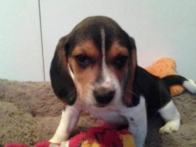 Family Beagle For Sale