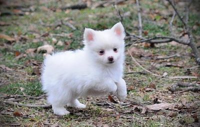 Affectionate males and females Pomeranian pups available