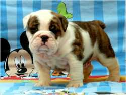 Stocky & Wrinkled *English Bulldog* Puppies