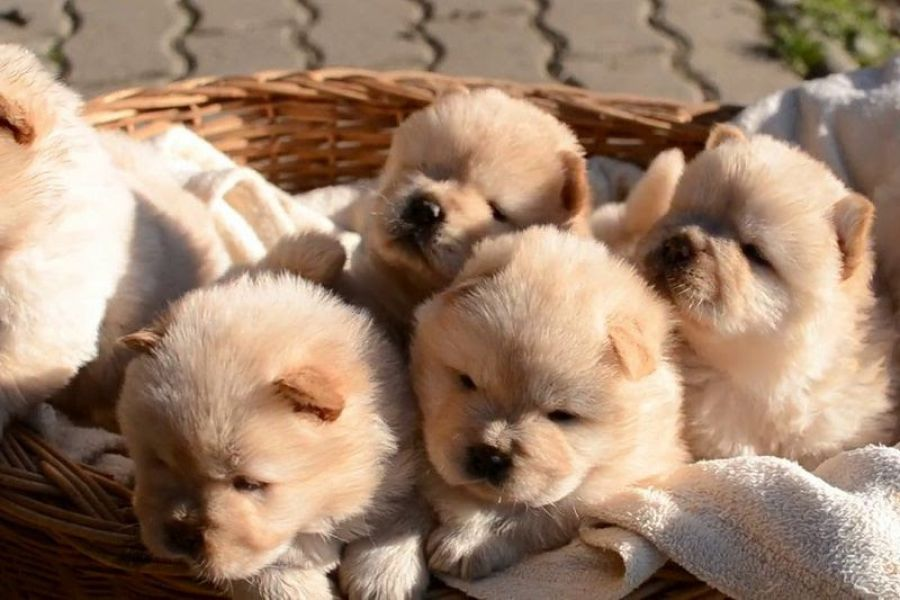 Lovely Chow Chow Puppies