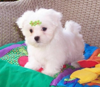 Champion Teacup Maltese For Sale