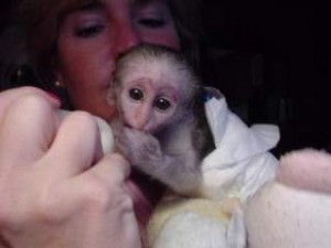 Two baby capuchin Monkeys available!!