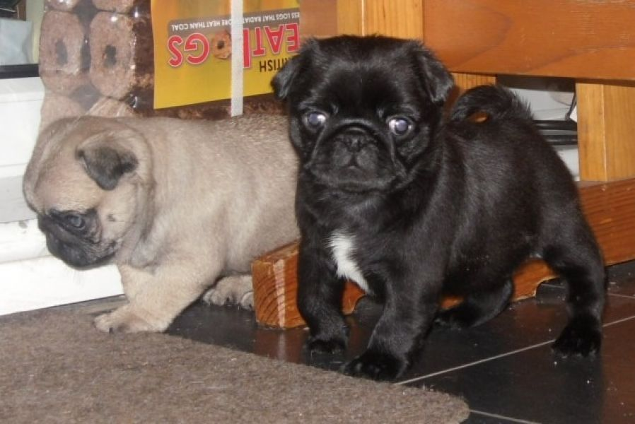 Gorgeous Pug puppies, 1 male and 1 female