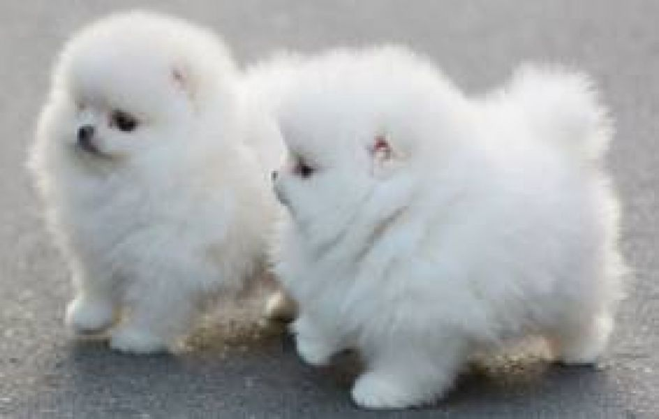 Male and female pomeraninan pups for adoption