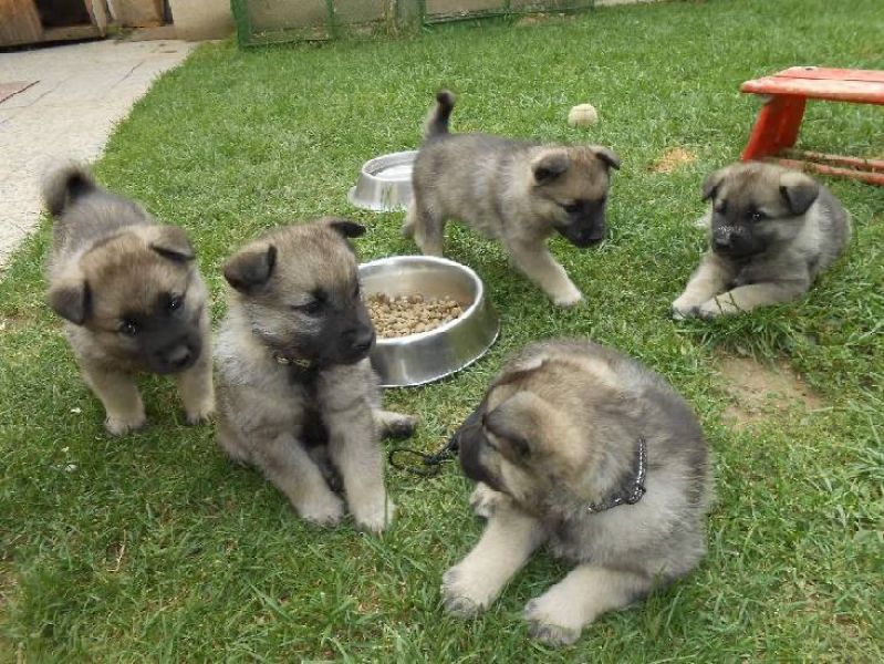 Norwegian Elkhound beautiful puppies with pedigree