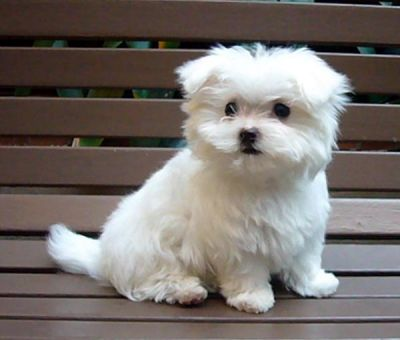 Tea Cup Maltese Puppies For