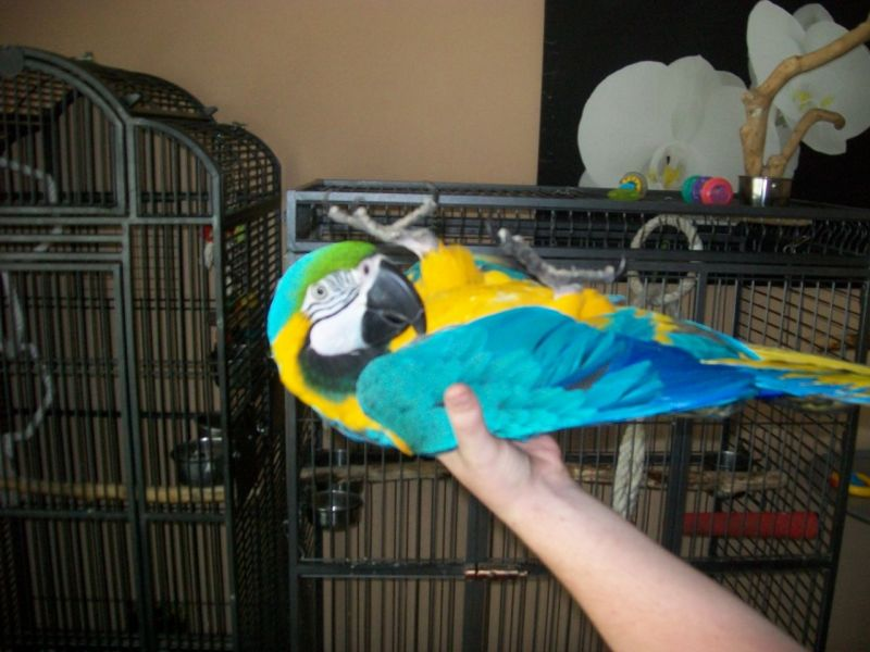 Talking Pair of Blue and Gold Macaw Parrots for sale to a good pet loving home,