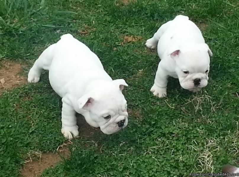 Champion Blood line AKC Registered... Male&,, Female- red brindle and white English bulldog. 9 Week