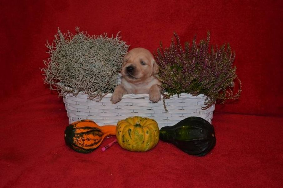 Golden Retriever – puppies available