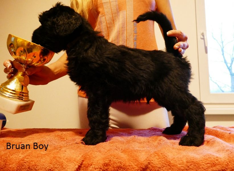 Black Russian Terrier - Puppies