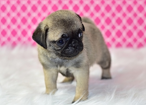 Pug Pups Childrens Heart Of Love..