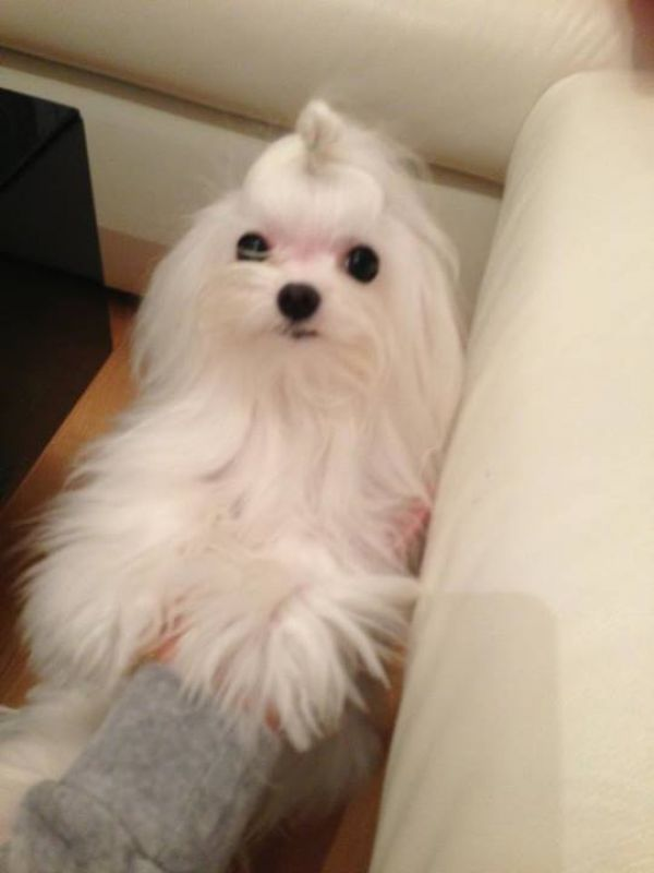Cute adorable maltese pupies for sale