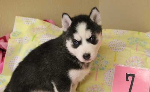 Cute siberian husky puppies available