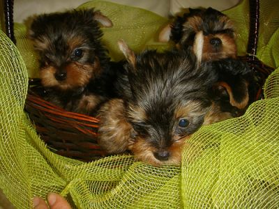 Tiny teacup yorkie puppies for free adoption