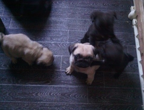 Potty traned pug puppies available