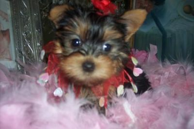 well trained yorkie puppies for adoption
