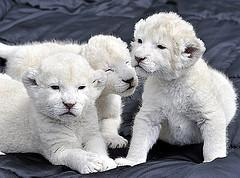exotic feline white lion and tiger cubs available.