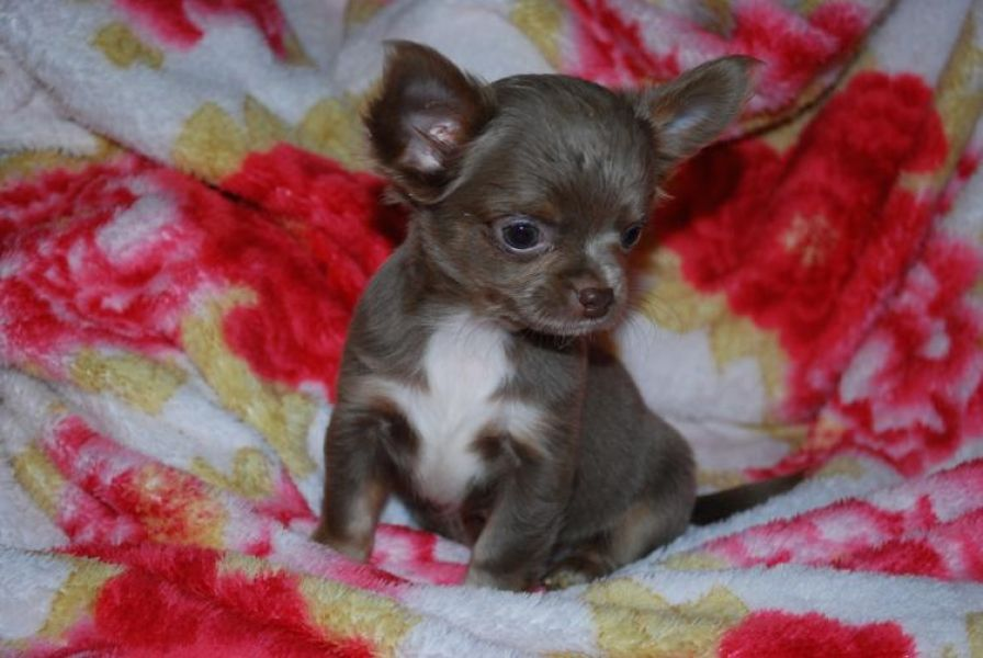 Luxury Mini Toy Chihuahua Puppies Rare Color Leopard