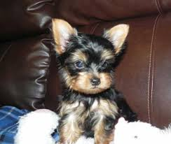 Adorable Yorkie Puppies For Adoption.