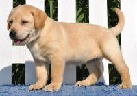Labrador Retriever Puppies for adoption