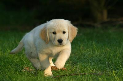 GOLDEN RETRIEVER PUPPIES FOR ADOPTION NOW