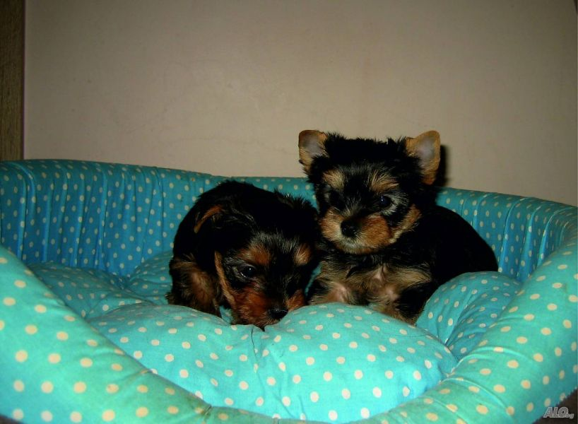 Cute Yorkie puppies Still Available for Adoption