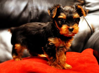 Extremely cute teacup yorkie puppies availble for adoption