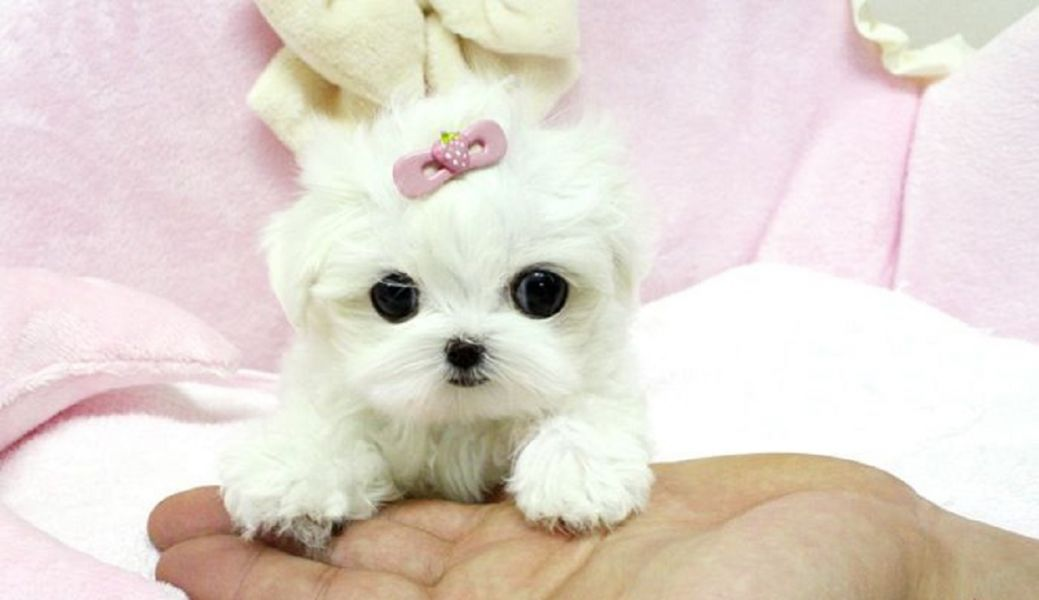 Supper Tiny Teacup Maltese Puppies