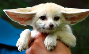 Baby fennec fox available for sale