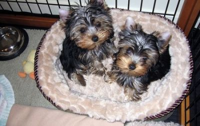 Lovely Male And Female Tea Cup Yorkie Puppies For Sale Now Ready To Go Home