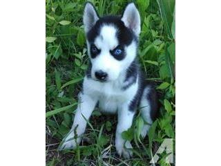 Gorgeous Blue Eyes Siberian Husky Puppies